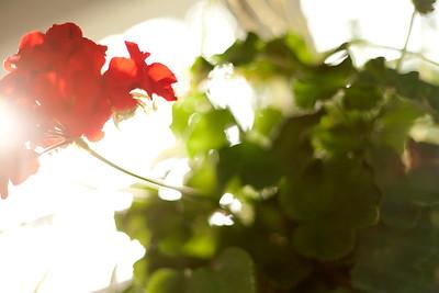 Summer Geranium