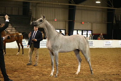 21 14 Arabian Yearling Colts & Geldings