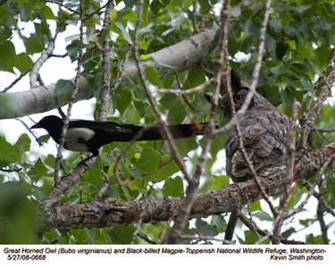 GreatHornedOwl&Magpie0668.jpg
