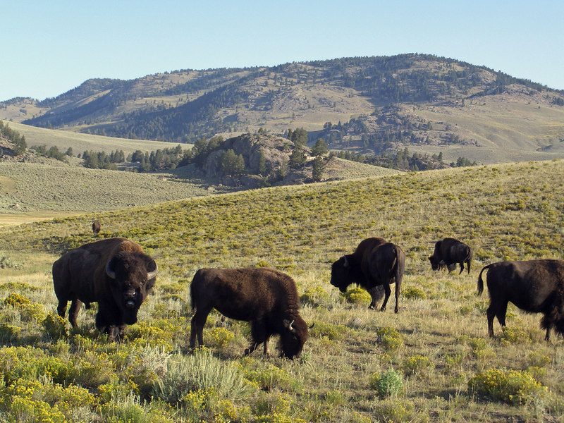bison in Lamar Valley.jpg