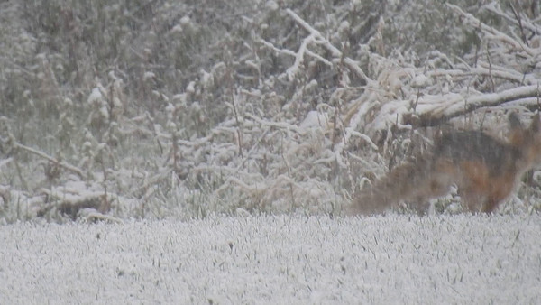 5-12-16 Video Red Foxes In Snow Storm