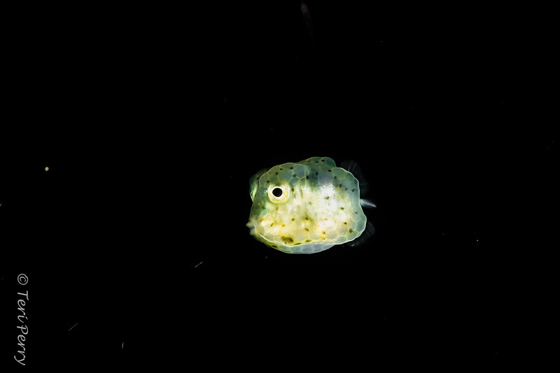 BLACKWATER - Fish - boxfish-0288-Edit.jpg