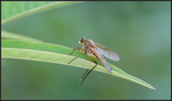 Gele Snipvlieg/Marsh Snipefly