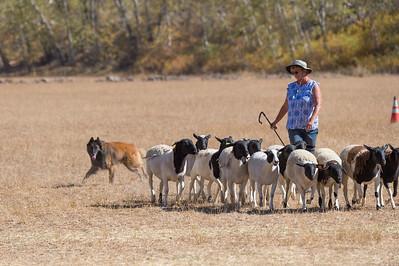 Course D Sheep