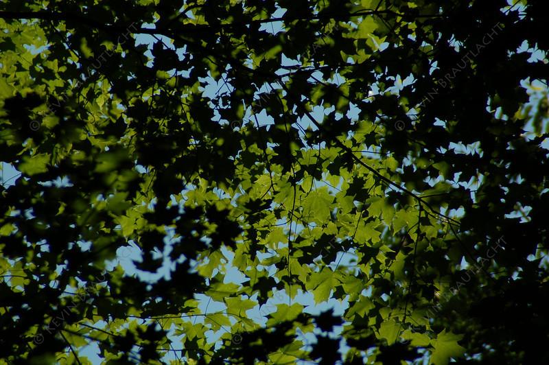 Canopy of leaves in Chestnut Ridge Park