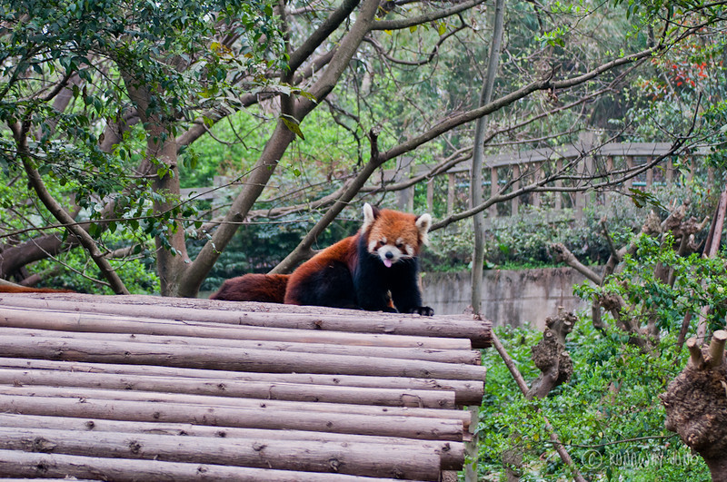 Red_Panda_hangout_Chengdu_Sichuan_China.jpg