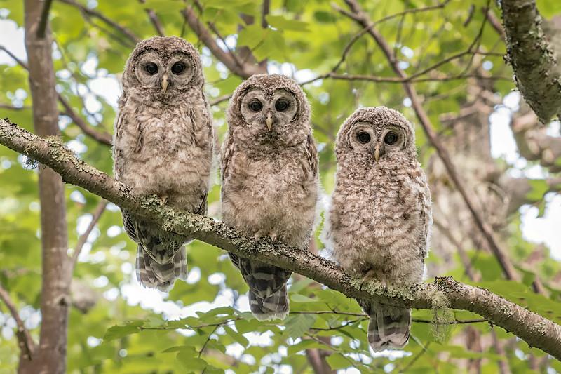 #739 Barred Owlets