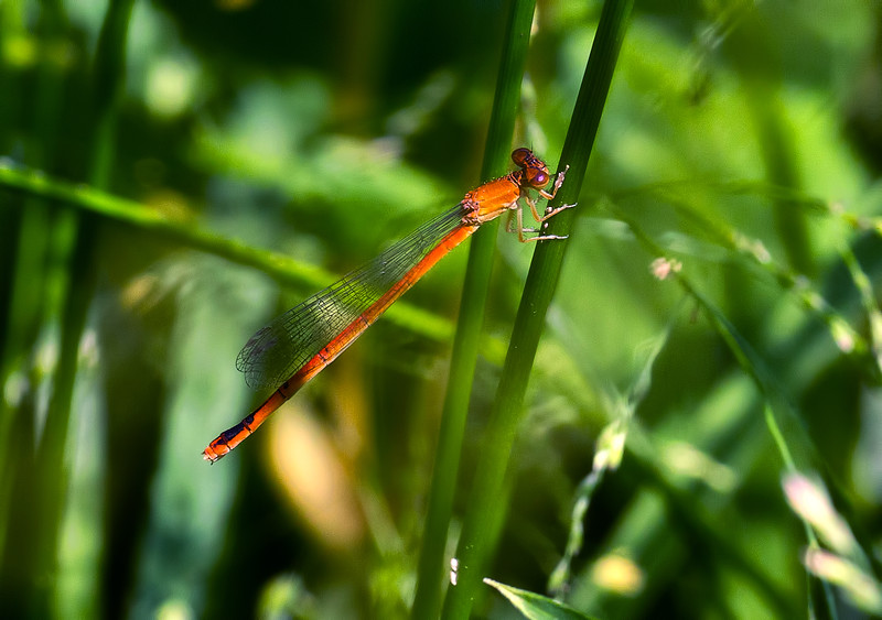Female, Lum's Pond State Park