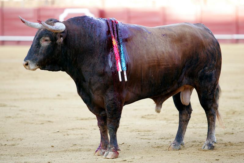 Bleeding bull. Bullfight at Real Maestranza bullring, Seville, Spain, 15 August 2006.