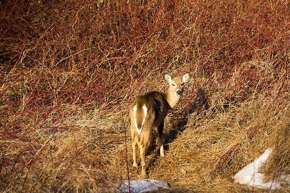 Deer March 2015
