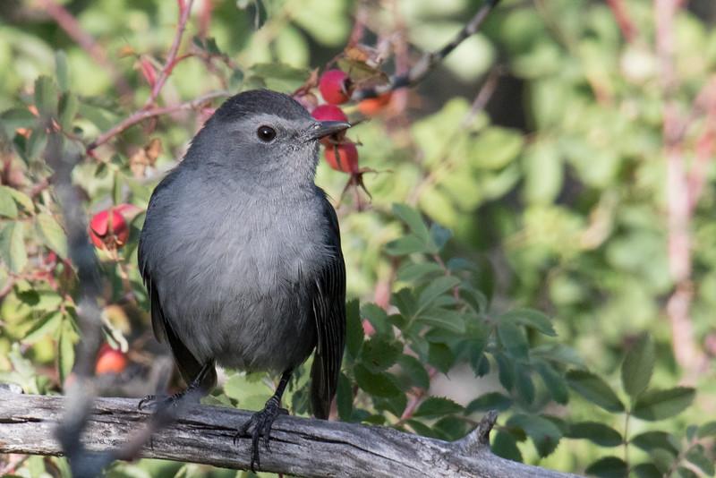 Catbird Badlands Canada 2019-1.jpg