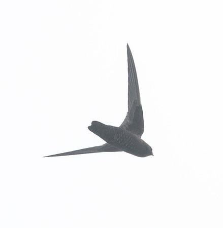 Black Swifts et al 5-20-18 Fort Rosecrans