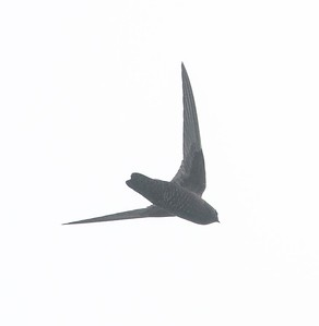 Black Swifts et al 5-20-18 Fort Rosecrans