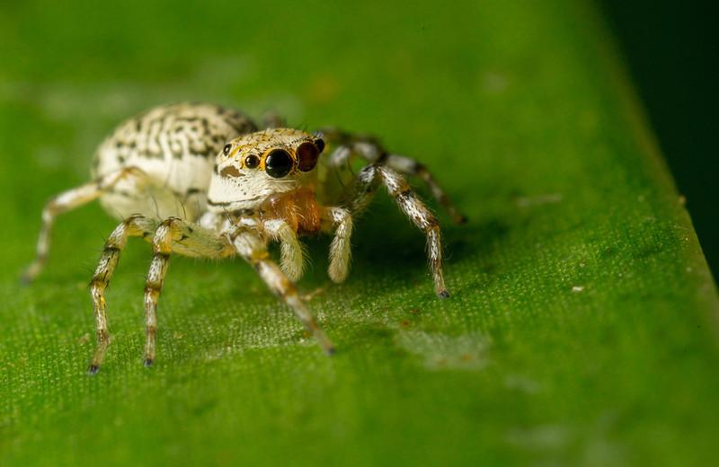 Da Hu Jumping Spider.JPG