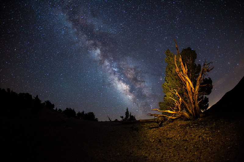 Great Basin Bristlecone Pine & the Milkyway. Ancient Bristlecone Pine Forest in the White Mts., Ca.