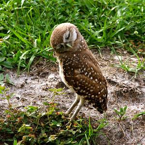 Piccolo Park's Burrowing Owls