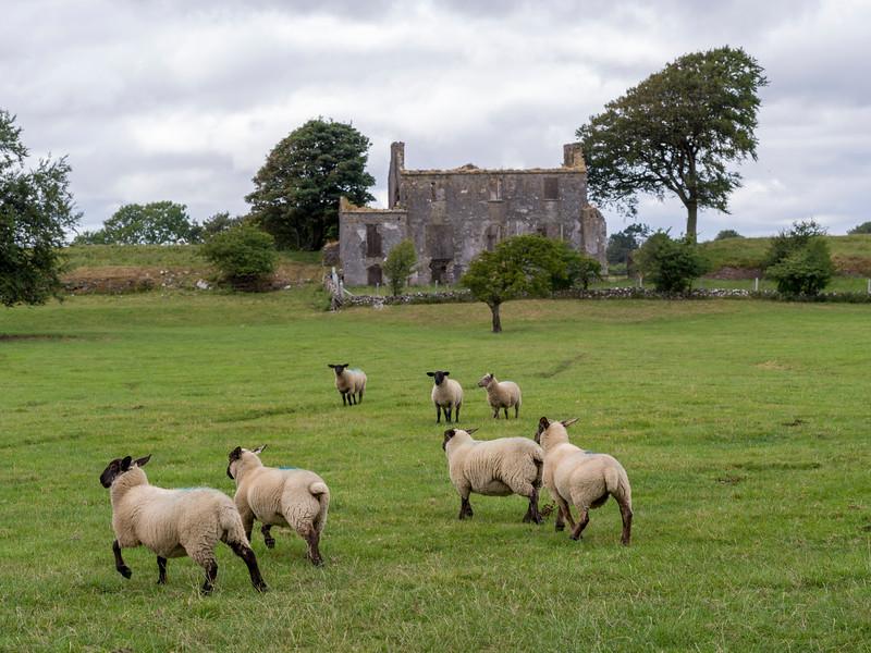 Sheep grazing on farm land, Tuam, County Galway, Ireland