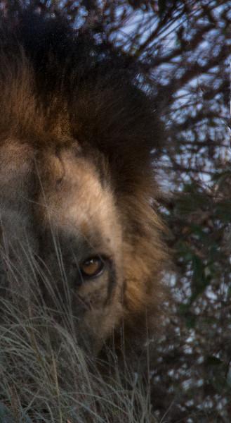 Half Face Lion-Yvonne Carter.jpg.jpg