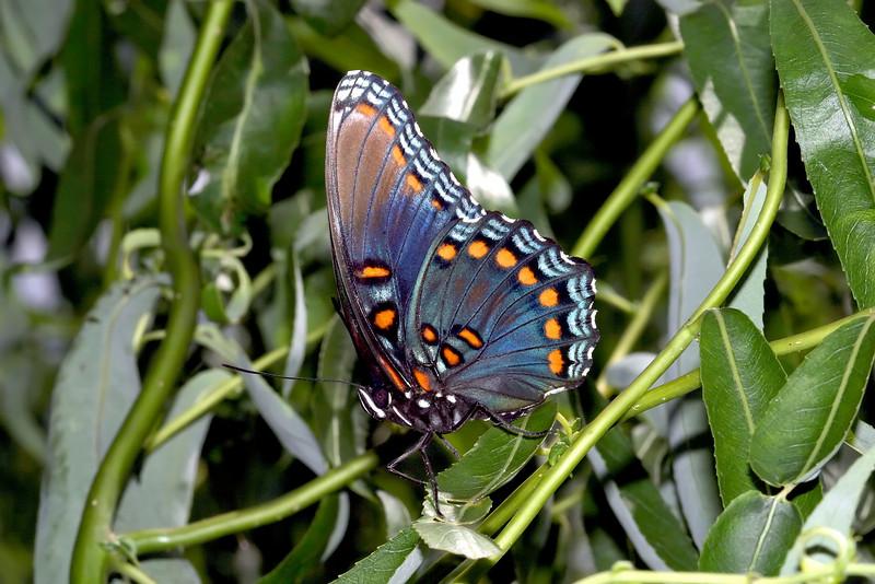 butterflyorangedots.jpg