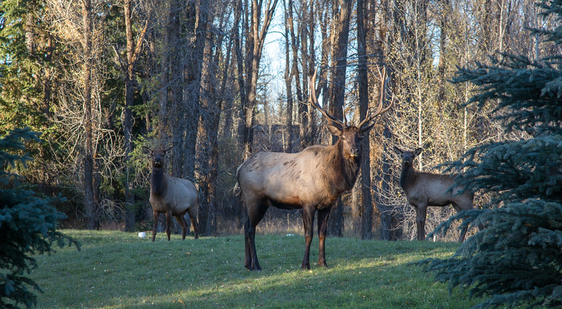 Elk (1 of 1)-2.jpg