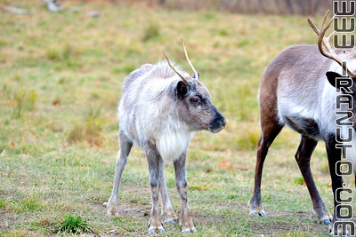 Caribou et renne