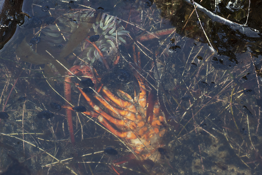 . A dead lobster and sea anemone are seen in an oil-filled tide pool near Refugio State Beach on May 20, 2015 north of Goleta, California. About 21,000 gallons spilled from an abandoned pipeline on the land near Refugio State Beach, spreading over about four miles of beach within hours. The largest oil spill ever in U.S. waters at the time occurred in the same section of the coast where numerous offshore oil platforms can be seen, giving birth to the modern American environmental movement.  (Photo by David McNew/Getty Images)