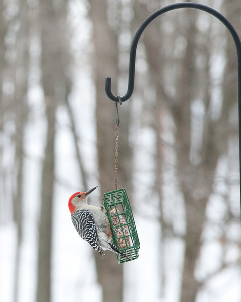 Red-bellied Woodpecker Photo by Penny Jesse