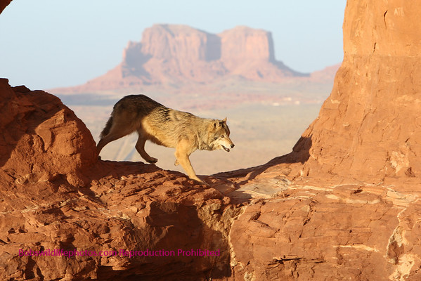 Wolves in Monument Valley