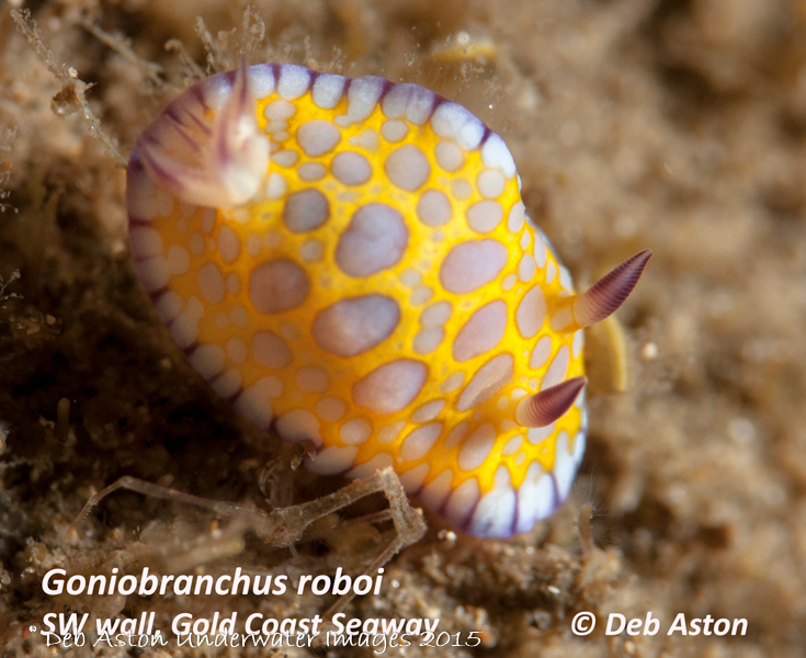 Goniobanchus roboi