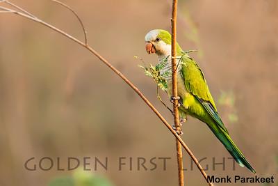 Monk Parakeet, Pantanal, Brazil