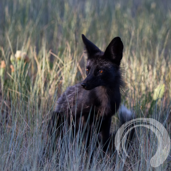 Black fox in the grass