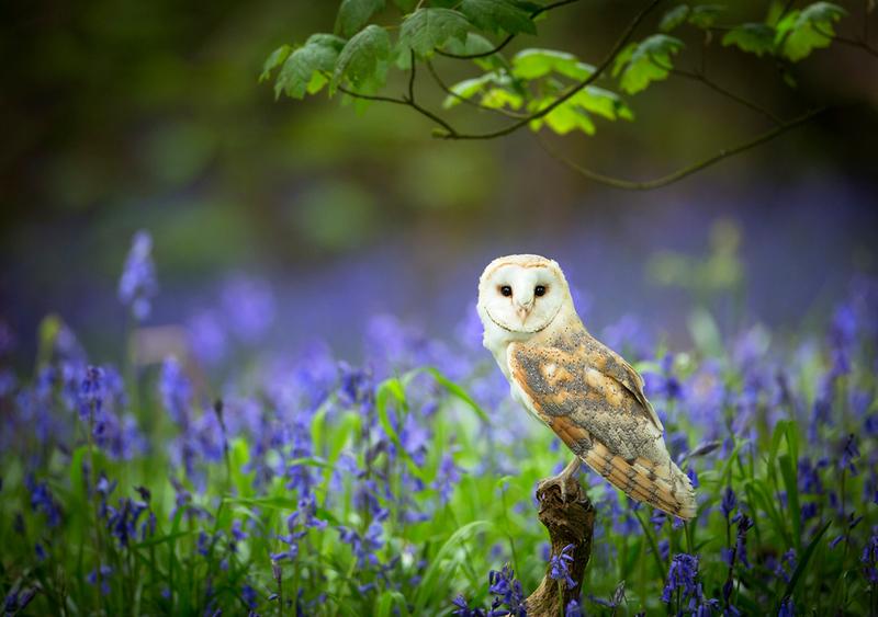 Barn Owl bluebells 1.jpg