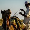 Packing the Camel, Thar Desert, India