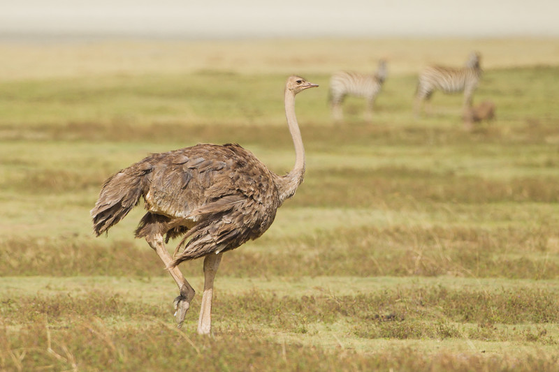 Common Ostrich - Female - Ngorongoro Crater, Tanzania