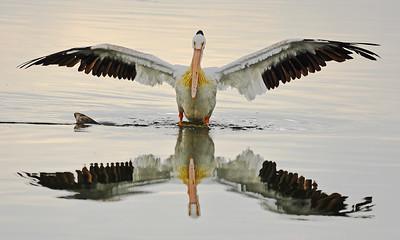 Colorado  Pelicans