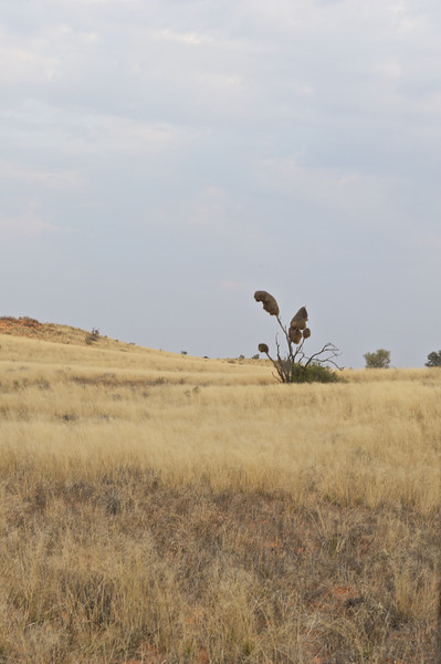 Sociable weaver nests, Kgaligadi Transfrontier Park, South Africa