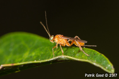Orange Braconid Wasp