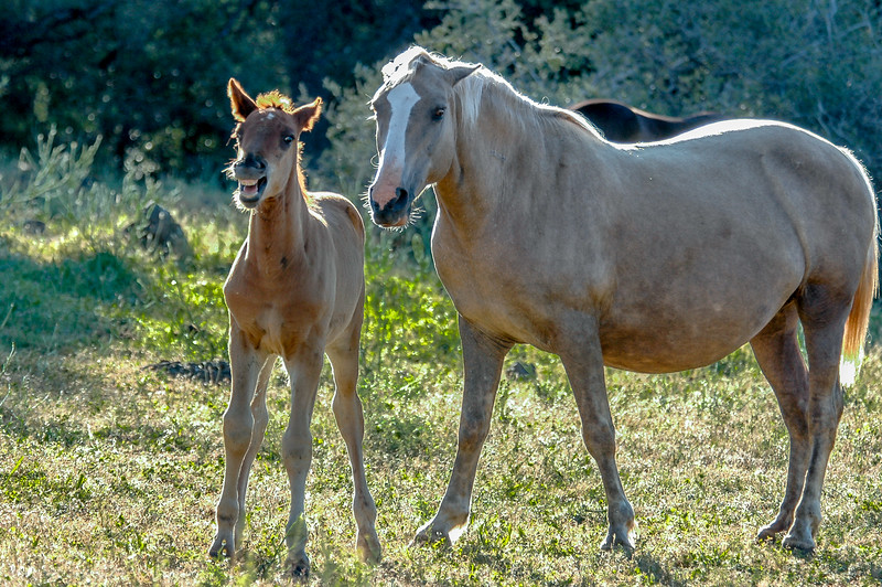 Wild Horse Foal Champing
