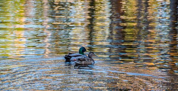 170513 Ducks at Scripps Library