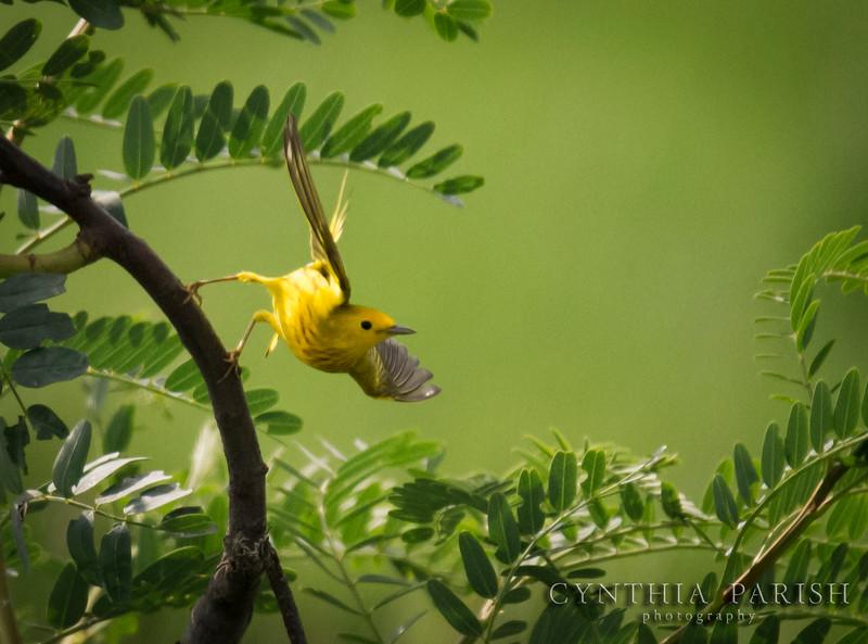 YellowWarblerTakingOff_LagowCPP.jpg
