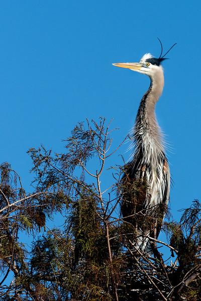 Great Blue Heron  #1081