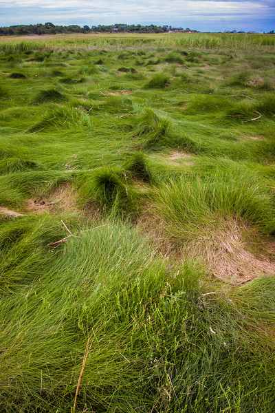 wellfleet matted grass tall.jpg
