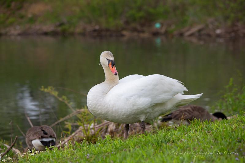 mute swan signed-20.JPG