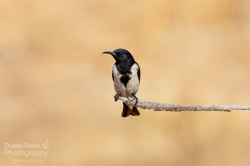 Black Honeyeater
