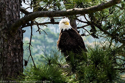 Bald Eagles in The Woodlands, Texas