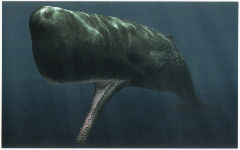 391_Kaikoura. Giant Sperm Whales. World's largest carnivore. Seen year-round.jpg