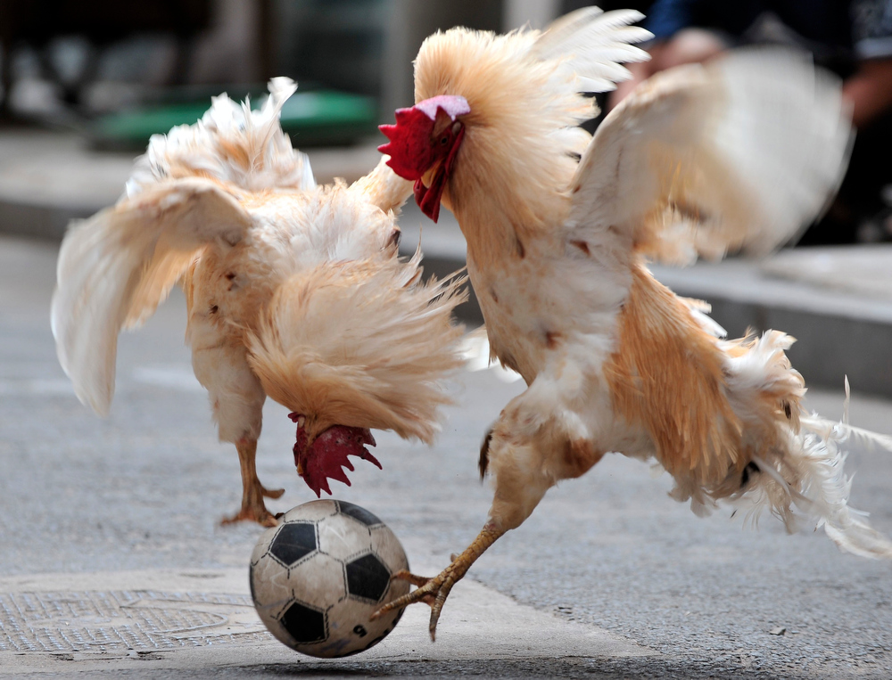 Description of . Two roosters taught by their owner Zhang Lijun, unseen to play with a football in Shenyang in northeast China\'s Liaoning province Thursday July 8, 2010.   (AP Photo)