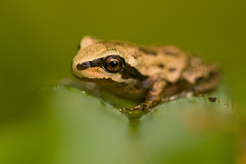 Narrow depth of field for this frog.