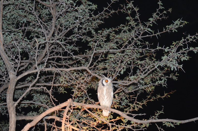 55 - Southern White-faced Scops Owl - Chitabe - Anne Davis