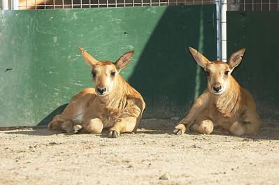 Baby Zambian Sable Antelope 4/24/2007
